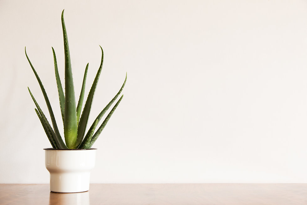 Aloe plant in design vintage pot and whi