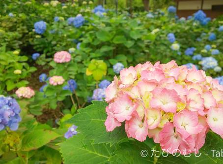 藤森神社のあじさい/Hydrangea at Fujinomori Shrine