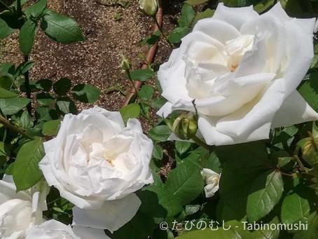中之島バラ園/Nakanoshima Rose Garden