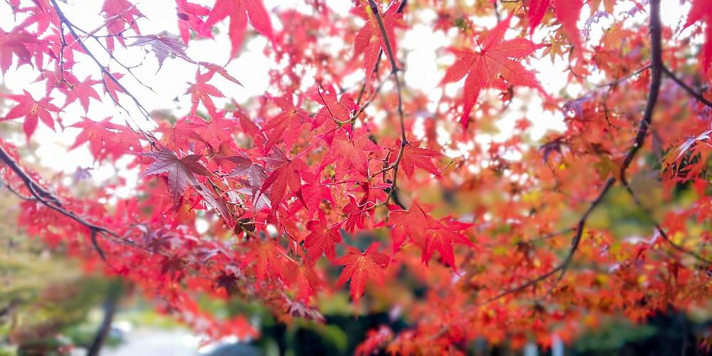 紅葉/ Japanese Maple