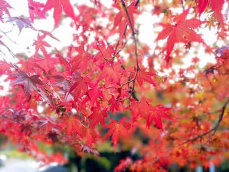 毘沙門堂の紅葉/Autumn Foliage at Bishamondo
