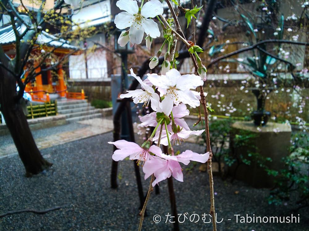 六角堂の桜 / cherry blossom