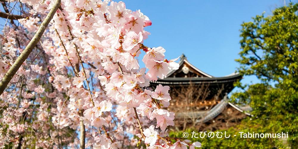 知恩院三門と友禅苑のしだれ桜/  Cherry blossom in Yuzen-en