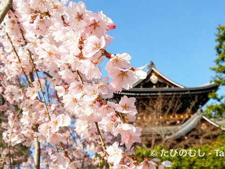 知恩院友禅苑のしだれ桜と乙女椿/Weeping Cherry and Camellia in Yuzen-en Garden at Chion-in Temple