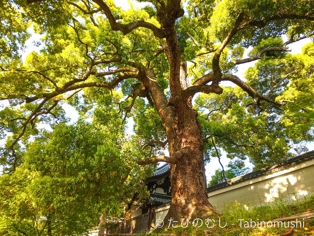 大クスノキ / camphor tree