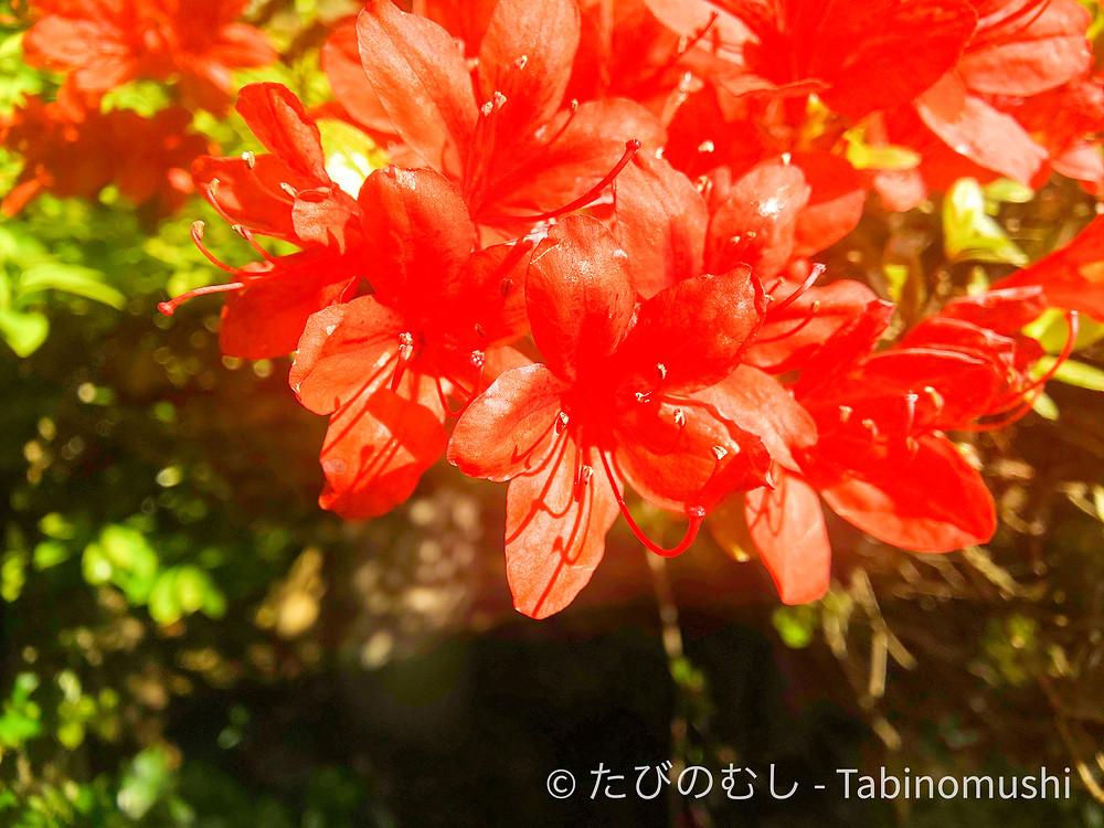 キリシマツツジ / azalea