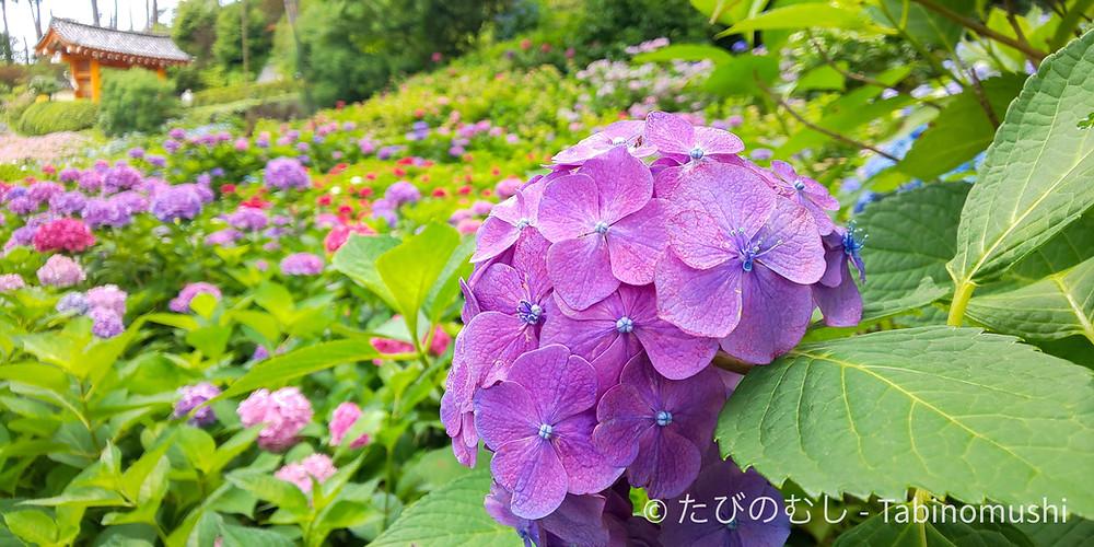 三室戸寺のあじさい/ Hydrangea in Mimurotoji