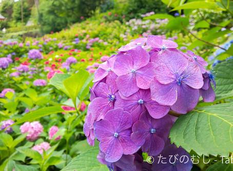三室戸寺のあじさい/Hydrangea at Mimurotoji Temple
