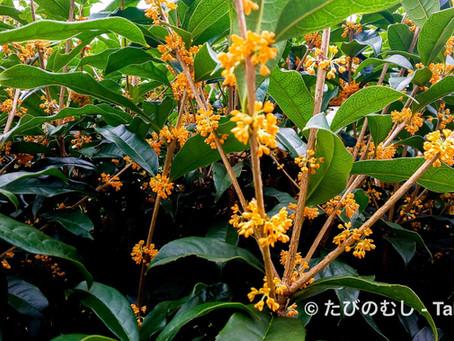 秋を告げるキンモクセイ/Osmanthus Brings Us Autumn But Did Not In The Past