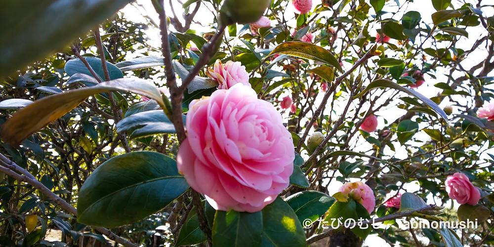 乙女椿/ Camellia