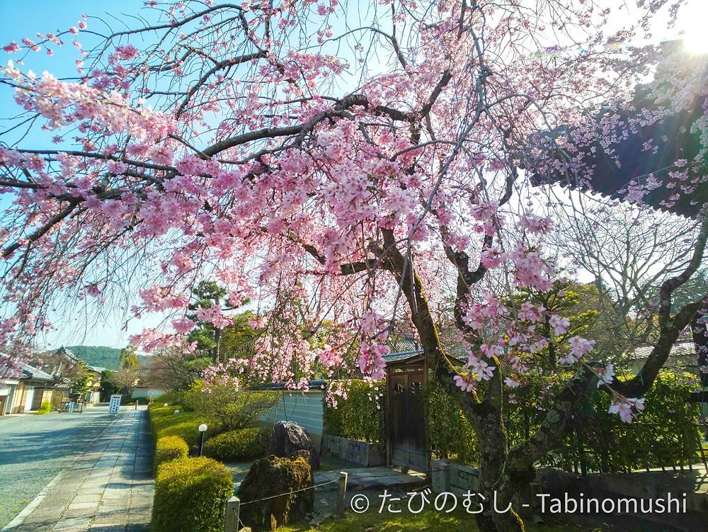 妙満寺しだれ桜 / Myomanji cherry blossom