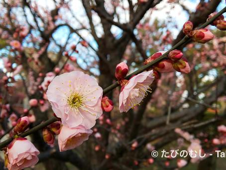 北野天満宮の梅/Plum blossoms at Kitano-tenmangu Shrine