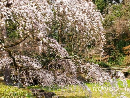 早咲きの桜(近衛邸跡)/Early Cherry Blossoms at Kyoto Imperial Palace