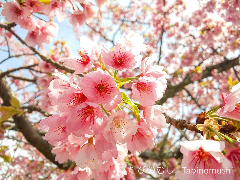 法輪寺の彼岸桜 / Horinji cherry blossom