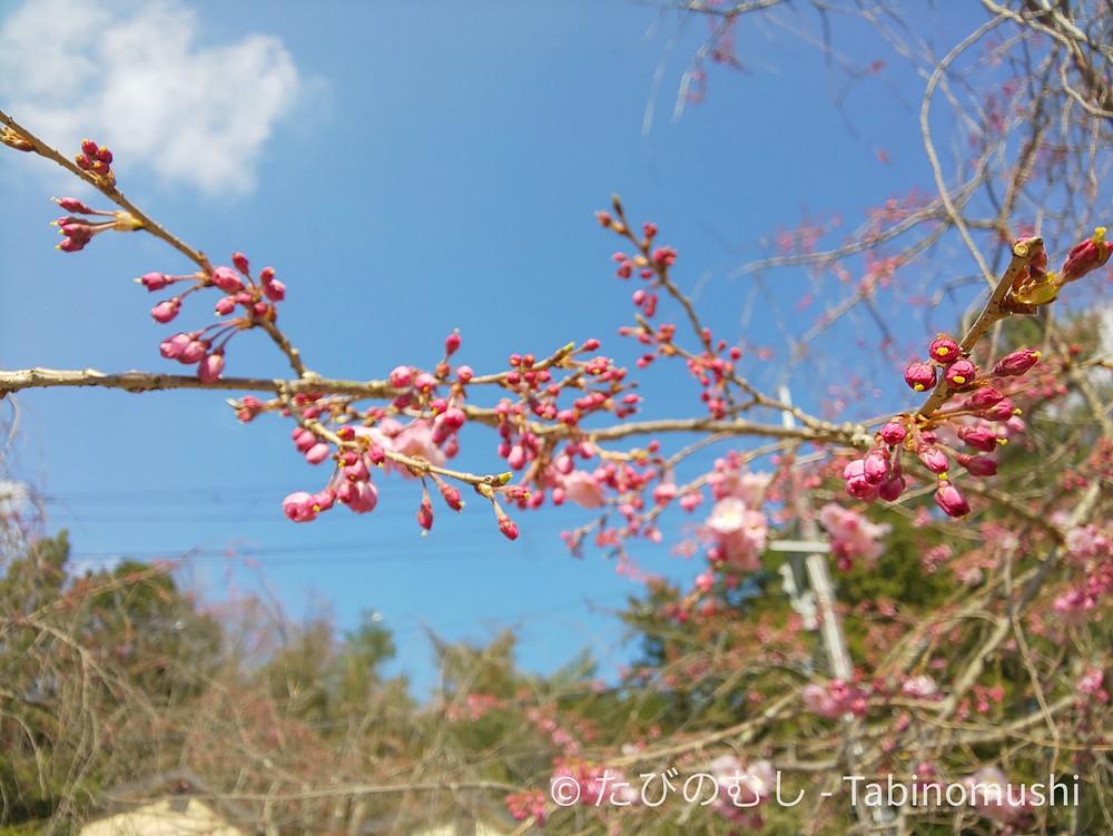 妙満寺の桜 / Myomanji cherry blossom