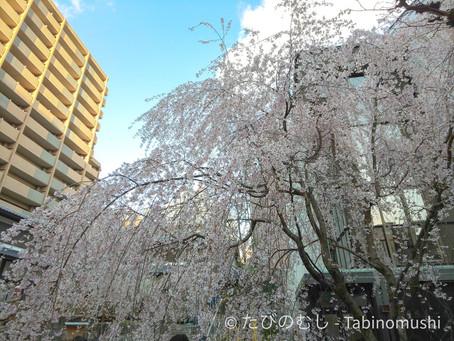 六角堂の桜/Cherry Blossoms at Rokkakudo Temple