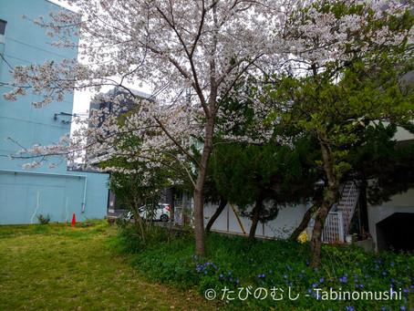 """「花散らしの雨」とは?/What's """"falling cherry blossom rain""""?"""