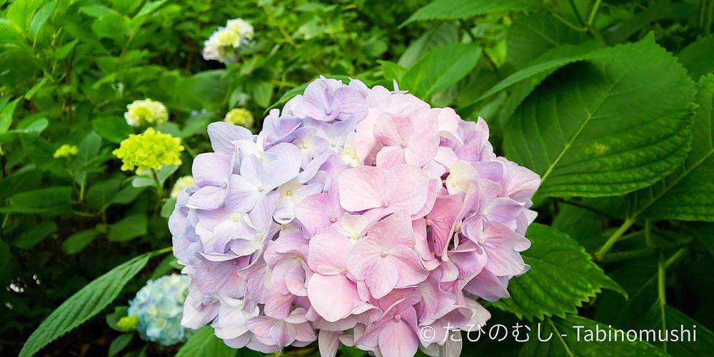 藤森神社紫陽花苑/ Hydrangea in Fujinomori Shrine