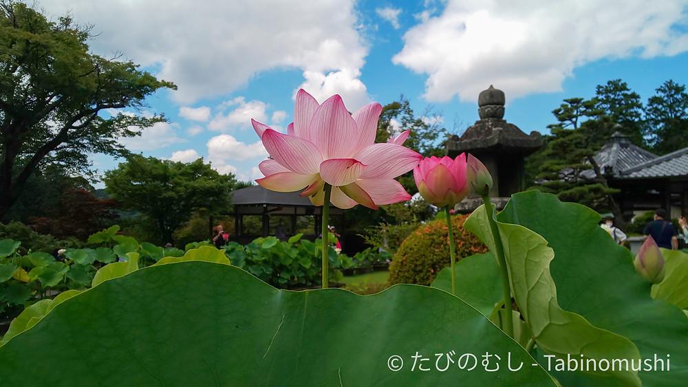 三室戸寺の蓮/ Lotus in Mimurotoji