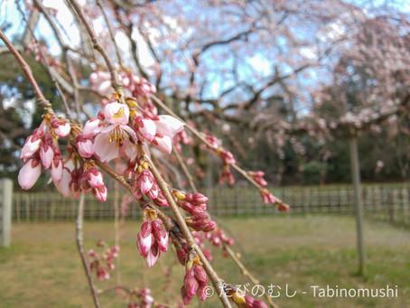 京都御苑の早咲き枝垂れ桜/Early Weeping Cherry Blossoms at Kyoto Imperial Palace