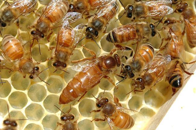 Kādēļ un cik bieži jāmaina bišu mātes