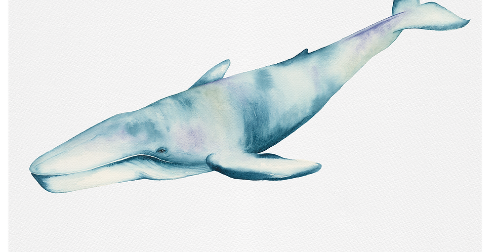 Blue Whale  'Florence'