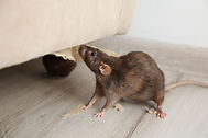 Rat near damaged furniture indoors. Pest