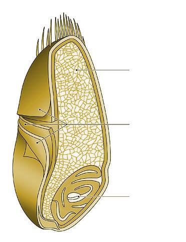 Grain-blé-2.jpg