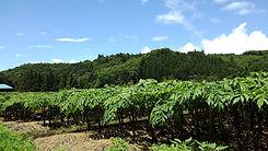 田口農園のこんにゃく畑