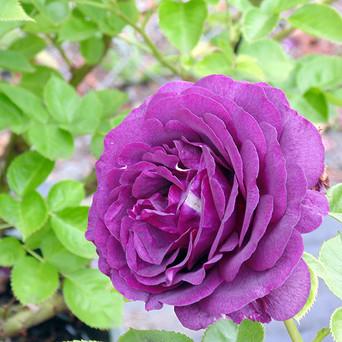 Purple-Rose.jpg