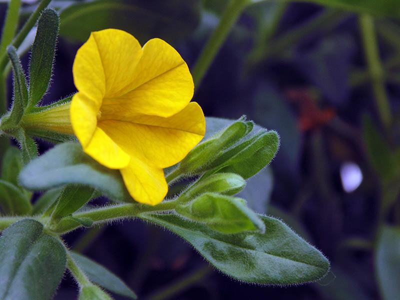 Yellow Petunia.jpg