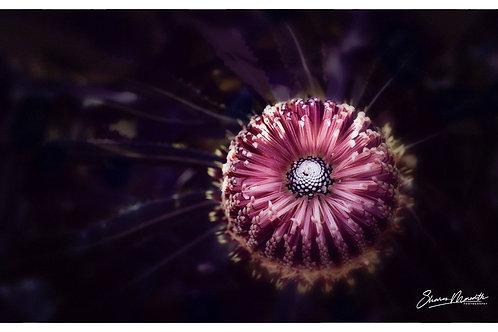 Banksia menziesii - Small