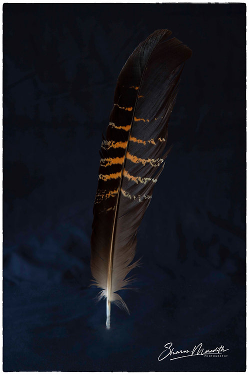Female Red-Tailed Cockatoo Feather Large