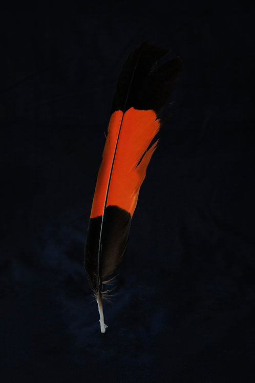 Male Red-Tailed Black Cockatoo Feather- Extra Small