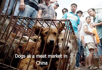 china%20dogs%20market2_edited.jpg