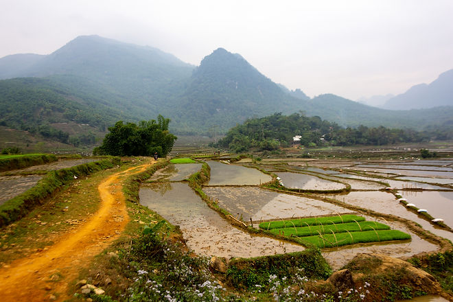Rice field Vietnam