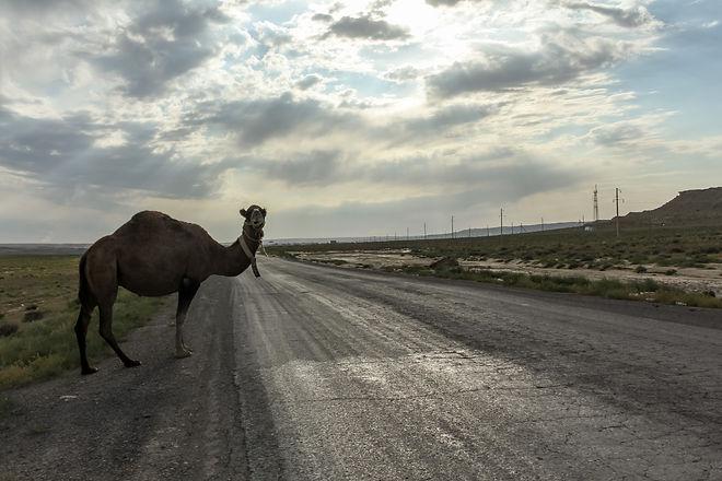 Camel in Kazakhstan