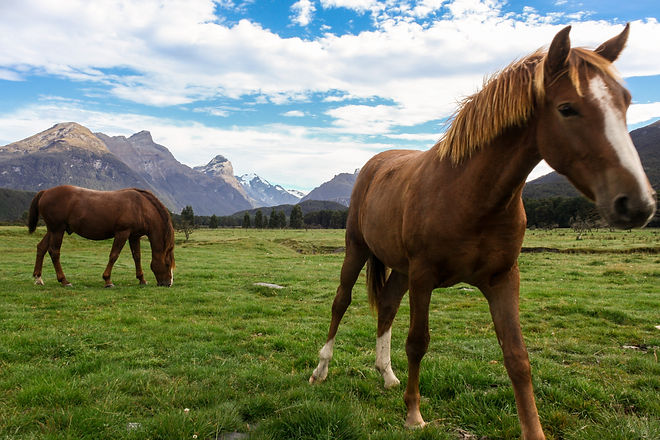 Horses in New Zealand