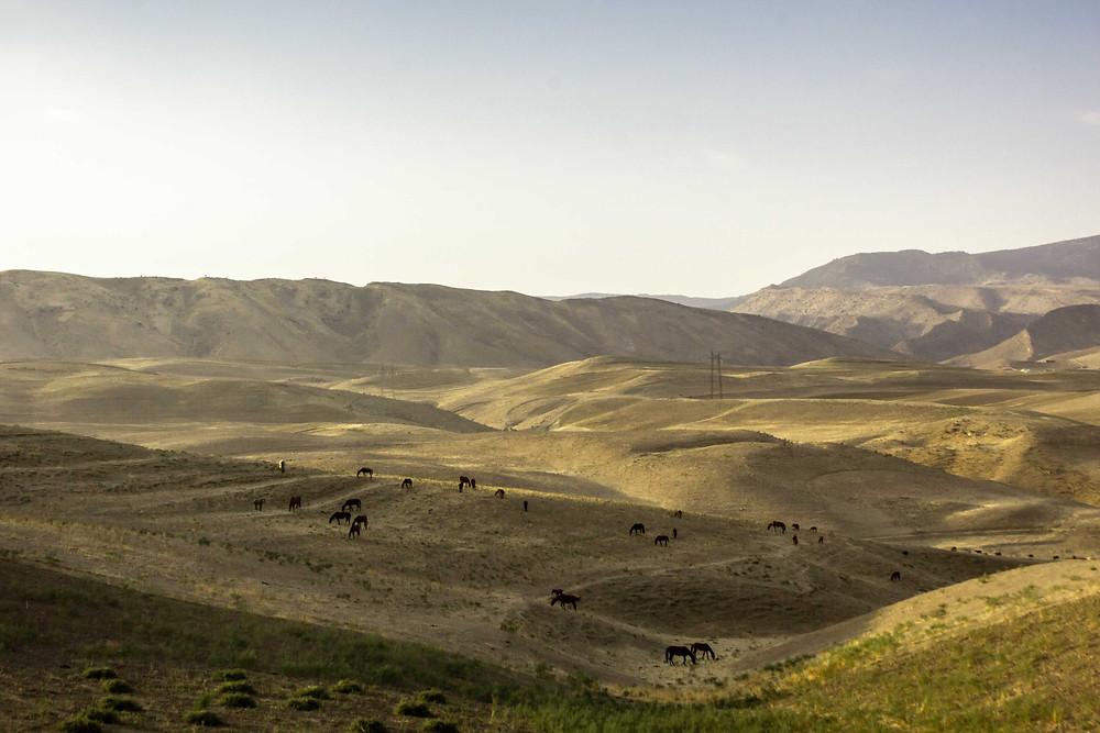 Horses grazing in Uzbekistan