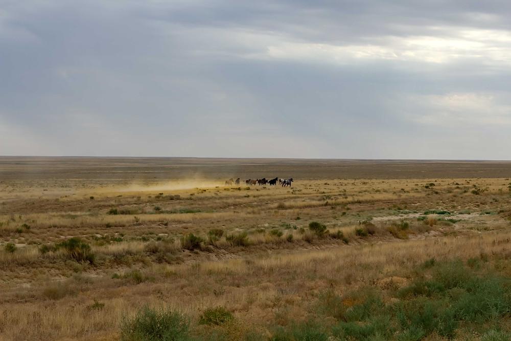 Wild horse in Kazakhstan