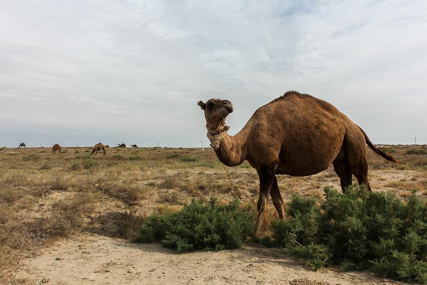 Kazakhstan camels