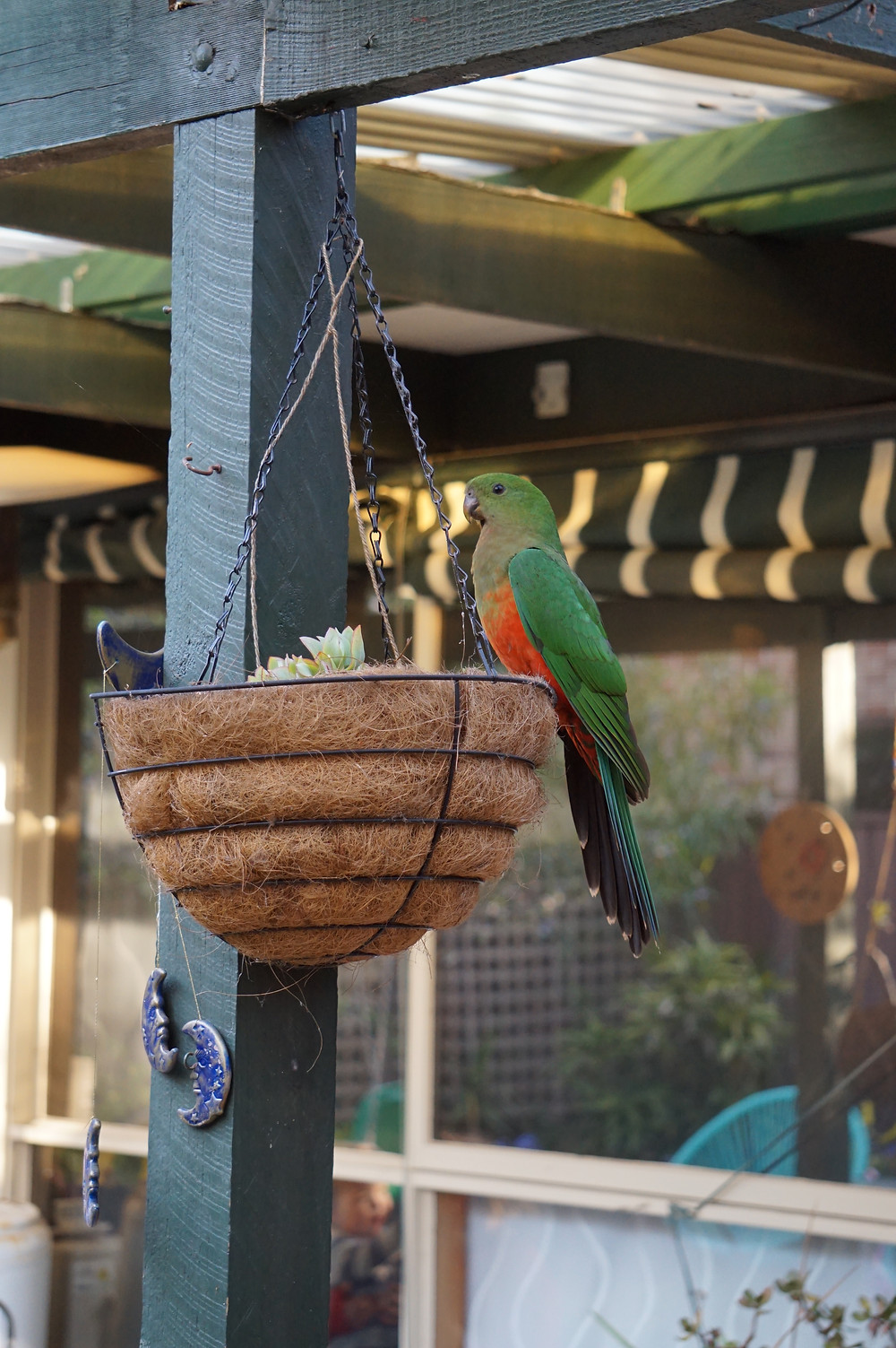 Female King Parrot on a hanging garden pot