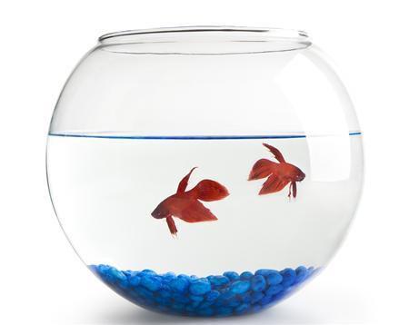 צנצנת לדג קרב בגדלים שונים