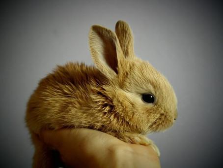 ארנבת ננסית