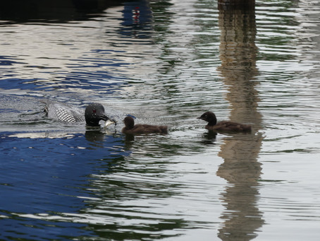 Loons nest In Smith Cove and Bring Chicks to Glendale
