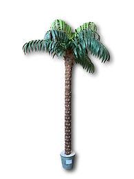 "10"" Coconut Palm X 2 #TCP264"