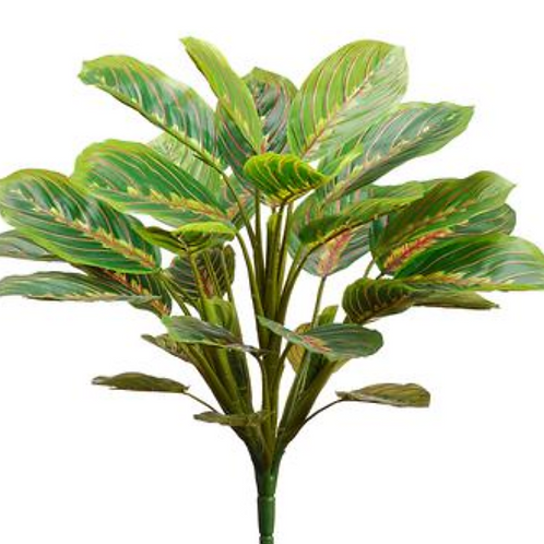 """19"""" Round Peacock Plant x 33 leaves"""