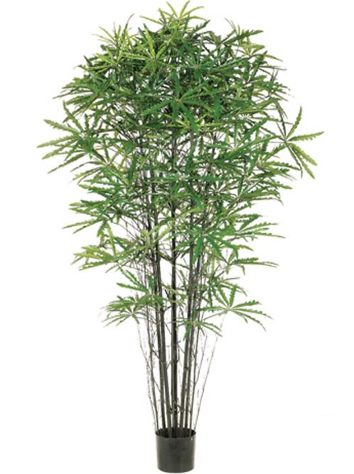 5' False Aralia Black Bamboo Tree with 1233 Leaves