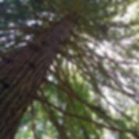 sequoia 6.6.19.jpg