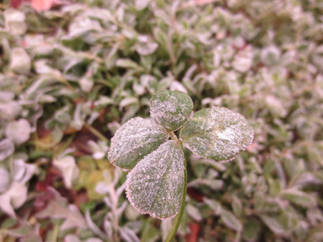 Four leaf clover in winter
